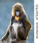 Frontal Portrait Of A Mandrill...