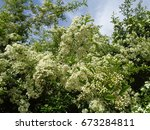Spring flowering bush in the garden - stock photo