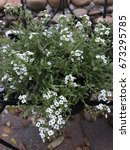 Small photo of White Alyssum flowers