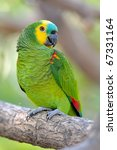 Small photo of Blue-Fronted Amazon (Amazona aestiva xanthopteryx)