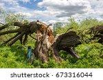 Old Broken Willow
