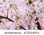 beautiful cherry blossoms in... | Shutterstock . vector #673316911