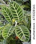 zebra plant  calathea zebrina | Shutterstock . vector #673328161