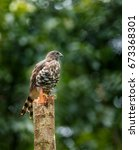 Small photo of Crested Goshawk or Accipiter trivirgatus perched on a branch of tree from Thattekkad, Kerala.