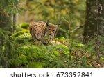 Eurasian Lynx  Lynx Lynx  Big...