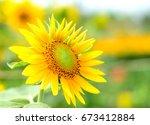 a sunflower in sadec  dong thap ... | Shutterstock . vector #673412884