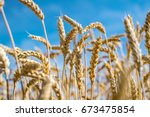 Rye field. Ripe grain spikelets. Cover crop and a forage crop. Blue sky background. Agricultural concept. Gramineae
