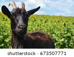 Goat  Black Goat  Domestic Goa...