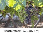clusters of grapes in a parral  ... | Shutterstock . vector #673507774