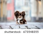 adorable chihuahua dog posing... | Shutterstock . vector #673548355