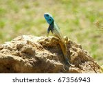 A Blue Headed Tree Agama On A...