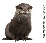 Small photo of Oriental small-clawed otter, Amblonyx Cinereus, 5 years old, sitting in front of white background