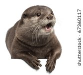 Small photo of Oriental small-clawed otter, Amblonyx Cinereus, 5 years old, lying in front of white background