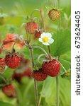 Wild Strawberries Macro  ...