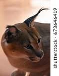 Small photo of Close up side profile portrait of one caracal, small African wild cat known for black tufted long ears, looking away, high angle view