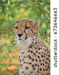 Small photo of Close up portrait of cheetah (Acinonyx jubatus) looking at camera, low angle view