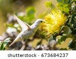 White Hummingbird  A Leucistic...