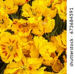 Small photo of Netherlands Amsterdam Keukenhof Park Flowers Fields Tulips Colorful Yellow Golden Glasnost