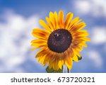 Yellow Sunflower In Summertime...