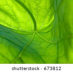 Nasturtium Leaf  Detailed