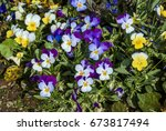 Heartsease  Viola Tricolor  In...