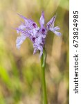 Small photo of Neotinea tridentata (three-toothed orchid) is a species of orchid found in southern Europe from Spain to Turkey and Lebanon; beautiful wild purple and pink orchid macro