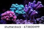 Stylophora Coral  Stylophora S...