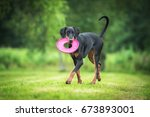 doberman pinscher dog playing... | Shutterstock . vector #673893001