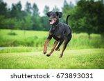 Doberman Pinscher Dog Running