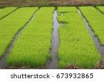 rice seedlings | Shutterstock . vector #673932865