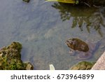 Frog In The Water Nature...