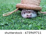 porcupine dwarf pygmy hedgehog... | Shutterstock . vector #673969711