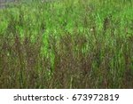 Small photo of Gold beard grass or Scientific name Chrysopogon aciculata) is one of the fast growing grass