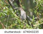 common rosefinch female sitting ... | Shutterstock . vector #674043235