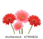 gerbera flower collage isolated ... | Shutterstock . vector #67404826