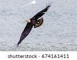 Bald Eagle Soaring Over Ocean...