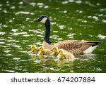 An Adult Female Canada Goose...