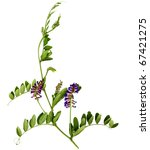 sweet pea flower isolated on... | Shutterstock . vector #67421275