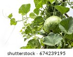 Small photo of Green Calabash ( Lagenaria ) striped alkali as a plant ivy isolated on white background.
