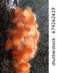 Small photo of Cookeina tricholoma (Phylum Ascomycota)
