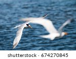 Small photo of Multiple terns flying at marsh