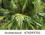 big green leaves of fan palm... | Shutterstock . vector #674393701