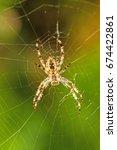 Garden Spider  Araneus...