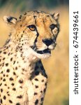 Small photo of Cheetah (Acinonyx Jubatus) close-up