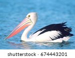Australian Pelican On Water