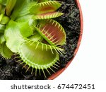 Small photo of exotic insect-eating predator flower Venus flytrap dionaea isolated on black background