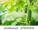 Cucumbers Grow. Selective Focus....