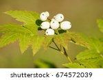Small photo of Actaea pachypoda(White baneberry)