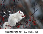 Albino Squirrel In Tree...