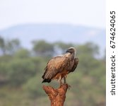 Small photo of White-backed vulture perched on branch of dead tree, Kruger National Park